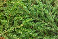 Bakgrund för granträd Arkivbilder