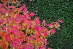 Bakgrund för häck för gräsplan för höstsidor Royaltyfria Bilder