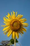 Bakgrund för härlig solros och för blå himmel Royaltyfri Foto