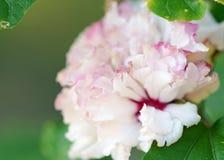 Bakgrund för hibiskusMutabilis rosa mjuk ryschig blomma Fotografering för Bildbyråer