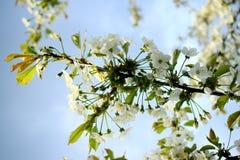 Bakgrund för körsbärsröd vit blomning och för blå himmel Fotografering för Bildbyråer