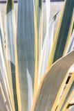 Bakgrund för kaktusbladmodell Fotografering för Bildbyråer