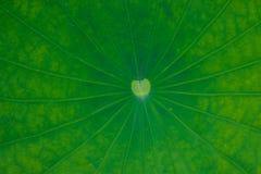 Bakgrund för Lotus bladgräsplan Royaltyfri Foto