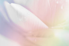 Bakgrund för Lotus kronbladcloseup Fotografering för Bildbyråer