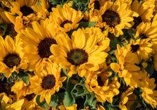 Bakgrund för många solrosor Bukett av det HelianthusÂ'Big leendet 'i solljuset royaltyfria foton