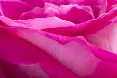 Bakgrund för makro för rosa färgroskronblad Royaltyfri Foto