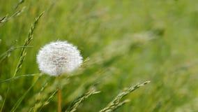 Bakgrund för maskrosgräsplan Royaltyfria Foton