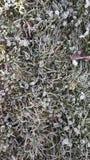 Bakgrund för morgongräsfrost Arkivfoto