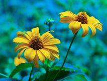 Bakgrund för närbild för dag för sommar för blommagulingfält solig Royaltyfri Foto