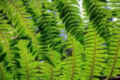 Bakgrund för Nya Zeeland gräsplanormbunke Royaltyfria Bilder