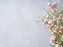 Bakgrund för pastellfärgad färg för våreaster kvast blom- minsta Arkivfoto