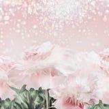 Bakgrund för pioner för pastellfärgade rosa färger blom- med bokeh Orienterings- eller hälsningkort Arkivbild
