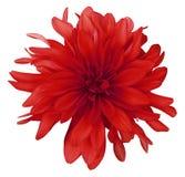 Bakgrund för röd blomma för dahlia som vit isoleras med den snabba banan closeup med inga skuggor Fotografering för Bildbyråer
