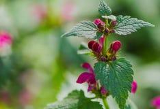 Bakgrund för Salvia pratensisgräsplan Royaltyfri Foto