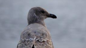 Bakgrund för Seagul closeupvatten Royaltyfria Bilder