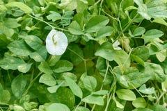 Bakgrund för sidor för gräsplan för vit blomma för ternatea för asiat Pigeonwings eller Clitoria royaltyfri fotografi