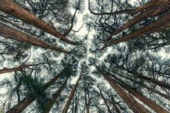 Bakgrund för skog för cederträträd arkivfoto