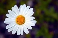 Bakgrund för slut för vit blomma övre och oskarp Royaltyfri Bild