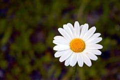 Bakgrund för slut för vit blomma övre och oskarp Arkivfoto