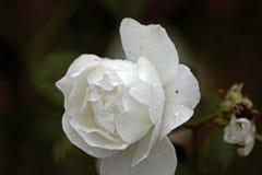 Bakgrund för slut för vit blomma övre och oskarp Arkivbilder