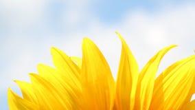 Bakgrund för solrosbladnatur arkivfilmer