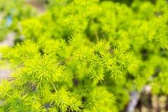 Bakgrund för sparrisdensiflorusgräsplan Royaltyfria Foton