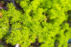 Bakgrund för sparrisdensiflorusgräsplan Arkivfoto