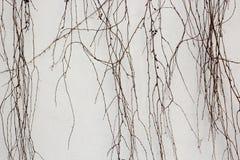 Bakgrund för stenväggen med den torra vissna murgrönan lämnar växter Royaltyfri Foto