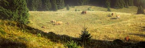 Bakgrund för svart skog med att beta kor, idylliskt land Royaltyfria Bilder