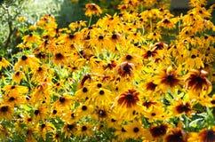 Bakgrund för textur för blomma för orange guling för Rudbeckiafulgida svart-synad Royaltyfri Foto
