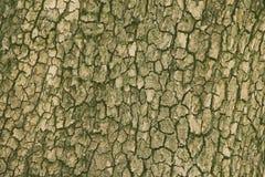 Bakgrund för textur för päronträdskäll Royaltyfri Fotografi