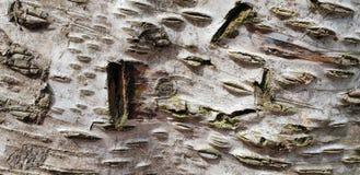 Bakgrund för textur för trädskäll royaltyfria bilder
