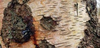 Bakgrund för textur för trädskäll royaltyfria foton