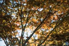 Bakgrund för träd för japansk lönn Royaltyfri Fotografi
