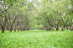 Bakgrund för trädgård för Apple träd Royaltyfri Bild