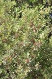 Bakgrund för tranbärträdfilialer med mogna frukter på royaltyfri foto