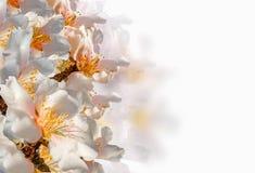 Bakgrund för vår för makro för blommor för mandelträd som isoleras i vit arkivfoton