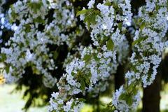 Bakgrund för vårblomningträd Royaltyfria Bilder