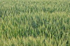 Bakgrund för vetefält Arkivfoton