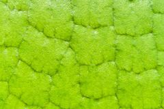 Bakgrund för Victoria Amazonica Water Lilies makrotexrute Arkivfoto