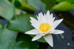 Bakgrund för vit lotusblomma och suddighets arkivfoto