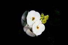 Bakgrund för vita blommor, Royaltyfri Bild