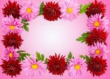 Bakgrund för vykortet av chrysanthemums. arkivfoto