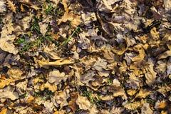 bakgrund fallna leaves Royaltyfri Fotografi