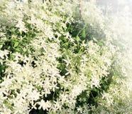 Bakgrund från den vita klematins Royaltyfri Fotografi