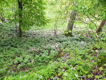 Bakgrund från en grön äng med härliga violetta blommor, träd växer, den ofördärvade naturen arkivfoton