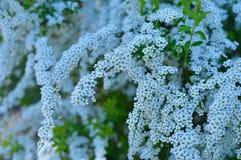 Bakgrund från filialer av äppleträd med sidor för frodiga buskar för vita blommor gröna royaltyfri fotografi