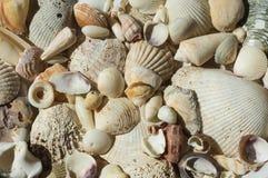 Bakgrund från olika havsskal Royaltyfri Fotografi