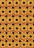 Bakgrund från orange gerber som i sin tur ligger till varandra Royaltyfri Bild