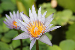 Bakgrund från purpurfärgad lotusblomma royaltyfri bild